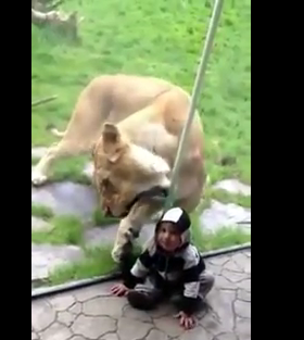 Leona del zoológico intenta devorar a bebe
