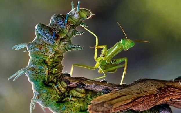 Orugavs Mantis