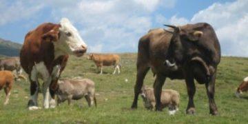 Vaca escapa de toro