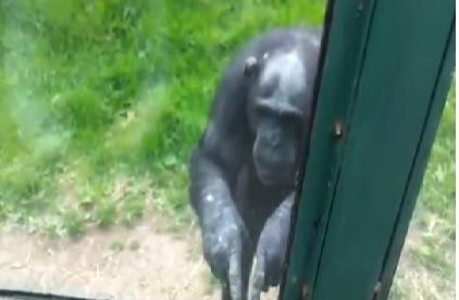 Chimpance quiere salir de su jaula