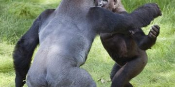reencuentro-entre-gorilas-hermanos
