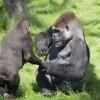 reencuentro-entre-gorilas-hermanos03