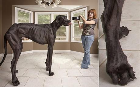 El perro mas grande del mundo