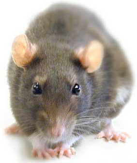mate 60 ratas y se gana un celular