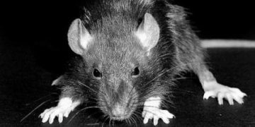 Ratas mutantes aterroriza al Reino Unido