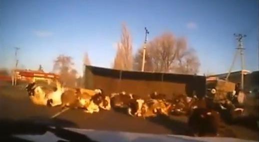 Camión lleno de vacas tiene un accidente