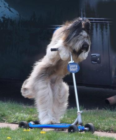 Norman el perro ciclista, estrella en la tele