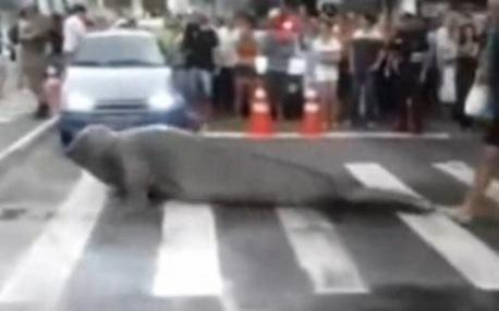 León marino cruza carretera en Brasil