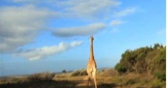 Jirafa enojada ataca turistas