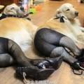 Perros usando pantimedias