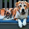 un labrador pintado de Tigger de Winnie-the-Pooh