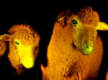 ovejas brillan en la oscuridad