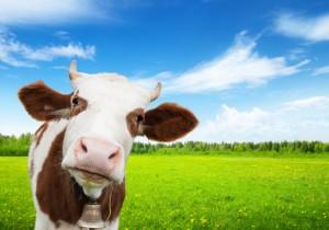 vaca cae del cielo