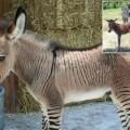 Ippo el burro-cebra