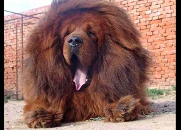Leones por perro