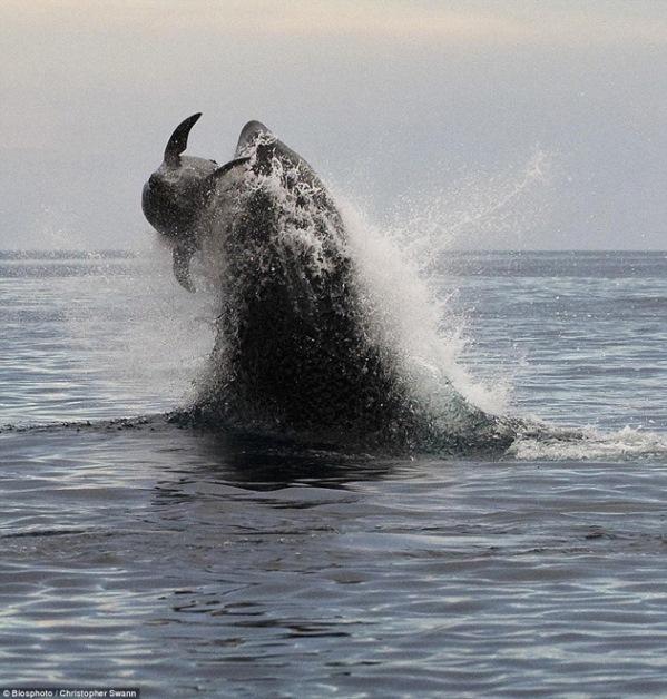 Sorprendentes fotografías de Orca atrapando un Delfín