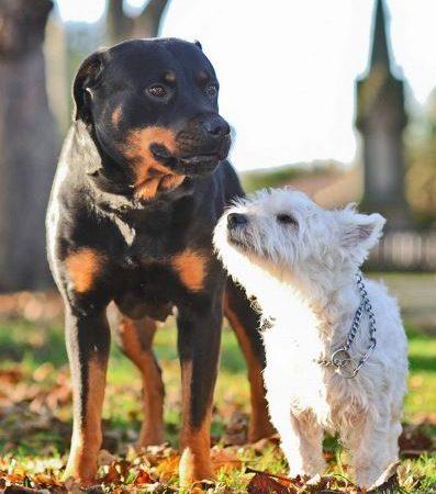 Pareja  Despareja.  Rottweiler y West Highland tienen un romance y nacen 11 cachorritos