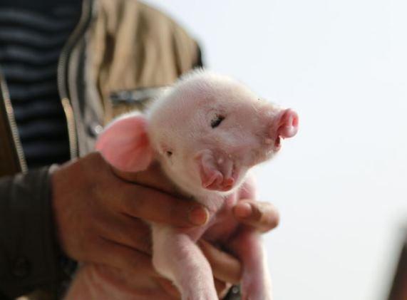 nace cerdo con dos cabezas 01