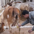 orina de vaca 100