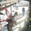 caballo-boxeador