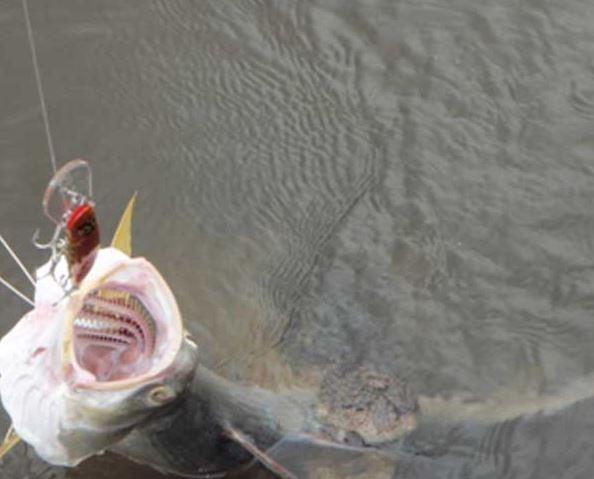 pez-cocodrilo2