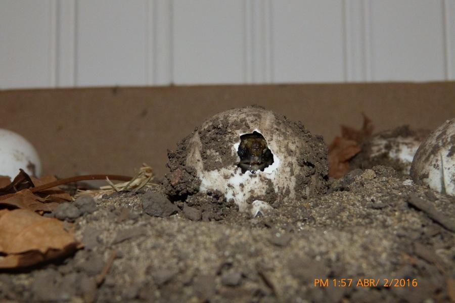 nacimiento tortuga-01