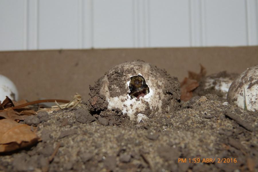 nacimiento tortuga-02