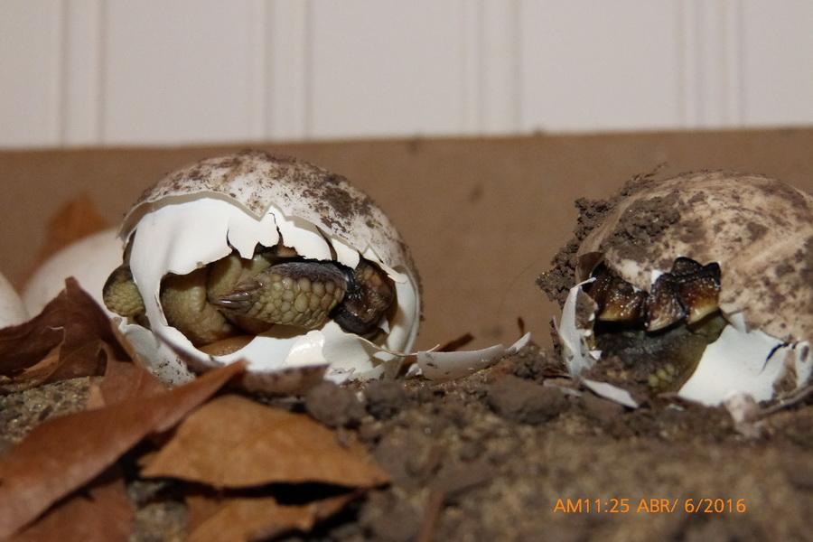 nacimiento tortuga-03
