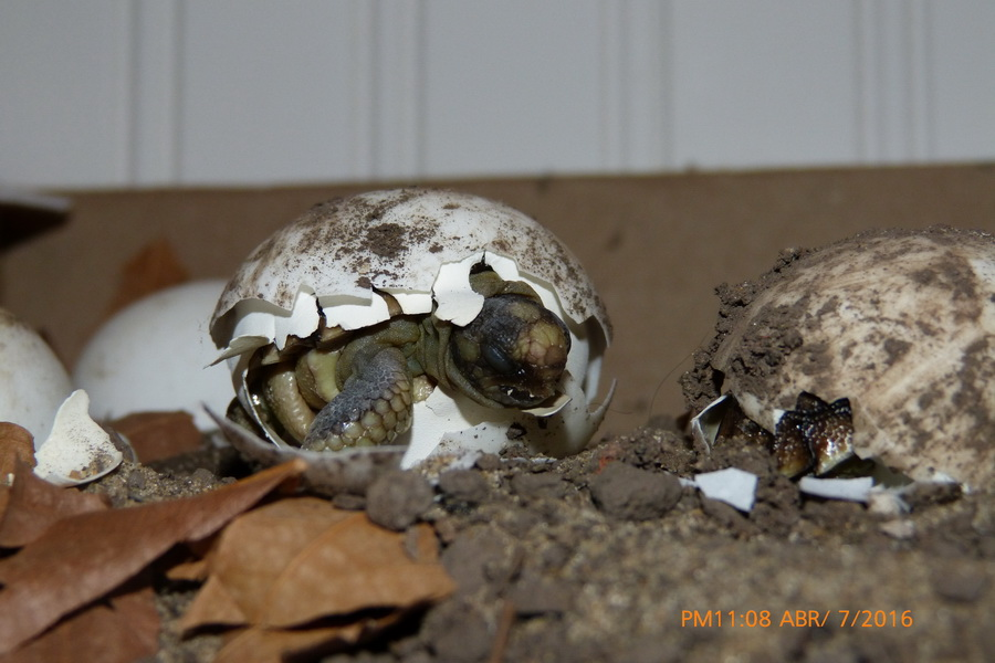 nacimiento tortuga-04