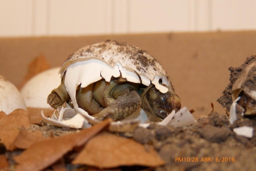 nacimiento tortuga-05