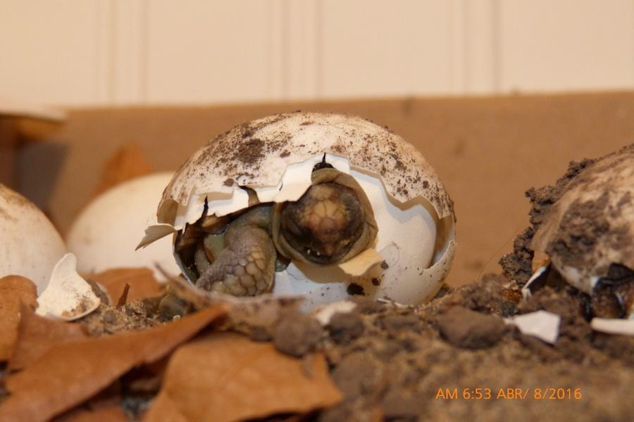 nacimiento tortuga-06