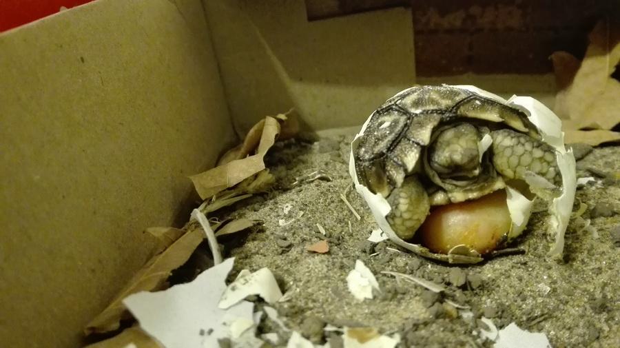 nacimiento tortuga-08