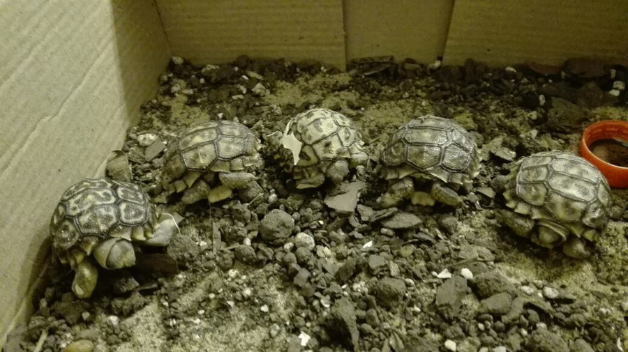nacimiento tortuga-11