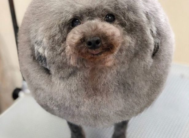 Los perros fluffball la última moda canina