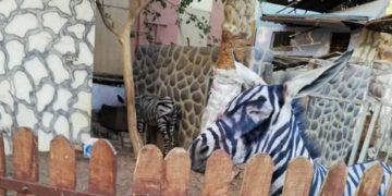 burro-pintado-de-cebra