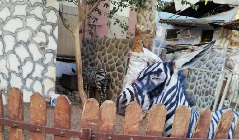 Pintan rayas negras a burros para que parezcan cebras