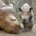 Cuerno-rinoceronte