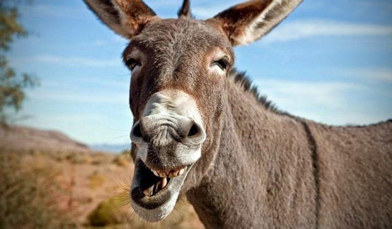 Chiste de Viernes – La historia de un burro llamado Kulo