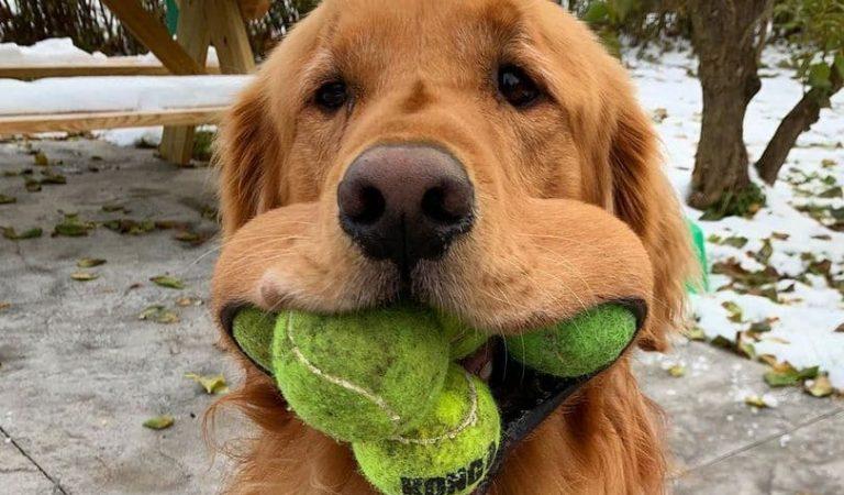 Un Golden Retriever llamado Finley rompe el récord mundial de pelotas de tenis en su boca