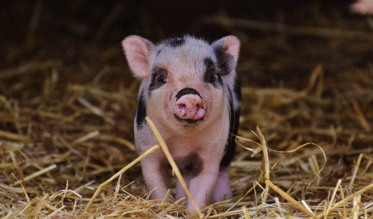 Nuevo estudio afirma que los cerdos poseen la capacidad de jugar videojuegos